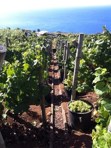 Vindimas na Madeira | @zone41 Wine World | Scoop.it