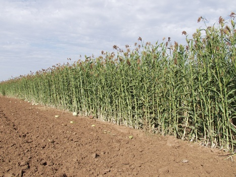 Picture of cultivated sorghum | Sorghum | Scoop.it