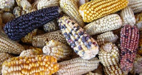 Es urgente difundir las mentiras sobre el maíz transgénico, y son estas | Agroindustria Sostenible | Scoop.it