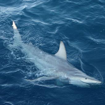 Interbreeding among 2 shark species => hybrid shark! #Australia #Ocean #Scuba | Australian animals | Scoop.it