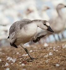 Missouri Snow Goose Hunting Challenges     snow goose hunting in Missouri   Scoop.it