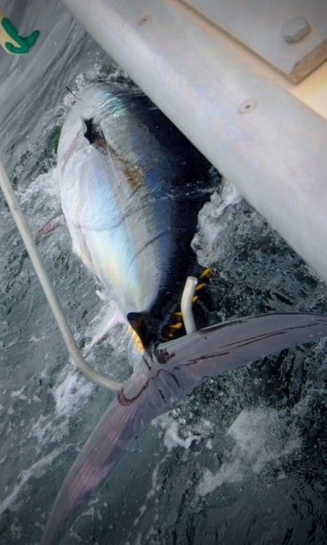 My review of tuna fishing in Canada - The Hull Truth - Boating and ... | Nova Scotia Fishing | Scoop.it