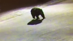 Big bear strolls through Halifax-area parking lot after getting into garbage | Nova Scotia Hunting | Scoop.it