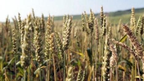 Récolte de blé record en 2015 - Ouest France | Agriculture en Pays de la Loire | Scoop.it