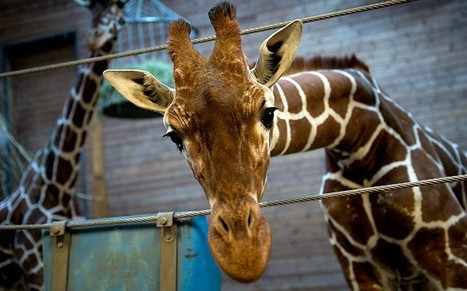 Second Danish zoo poised to put down a healthy giraffe named Marius - Telegraph.co.uk | zoo should not exist | Scoop.it