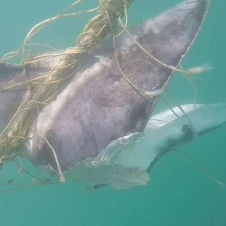 Byron Shire mayor says no to shark net trial | Oceans and Wildlife | Scoop.it