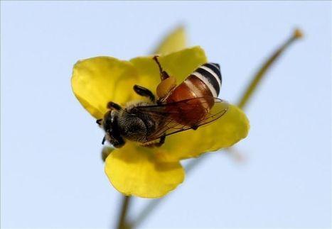 El incierto futuro de las abejas, casi totalmente desaparecidas en España | Biblioteca CCBA | Scoop.it