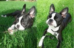 She Likes to Practice Yoga! - Lola from Argentina (Photo) | Boston Terrier Dogs | Scoop.it