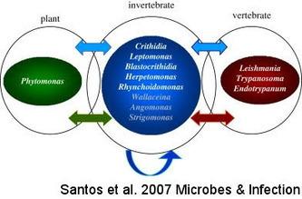 Skeptic Wonder: Sunday Protist - Phytomonas: plant trypanosomatids! (2009) | effectors | Scoop.it