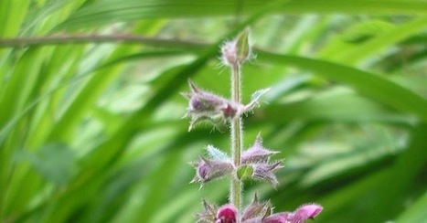 Woundwort – Stachys palustris /sylvatica | Life on Pig Row | Wild food | Scoop.it