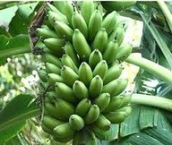 Investigadores brasileños señalan la harina de banana verde como ... - infoceliaco | Gluten free! | Scoop.it