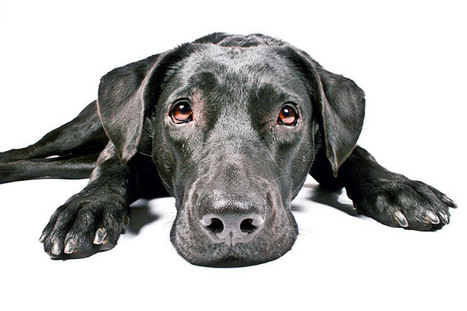 Is a Giant Dog Breed For You? — Not In The Dog House | Dog Lovers | Scoop.it
