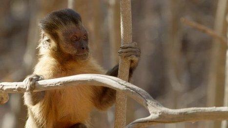 Flirting monkeys 'stone' their mates | The living world | Scoop.it