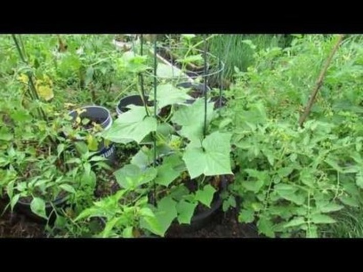 Growing Vertical Cucumbers in Sunken Containers with Tomato Cages – The Rusted Garden 2013 | Container Garden 411 | Container Gardening | Scoop.it