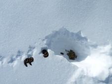 Observation de crottes de lagopèdes sur le secteur Madamète - Aygues-Cluses - Parc national des Pyrénées | Vallée d'Aure - Pyrénées | Scoop.it