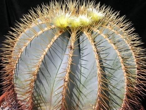 Ferocactus glaucescens – Blue Barrel Cactus, Glaucous Barrel Cactus   World of Succulents   Cacti (Cactus)   Scoop.it