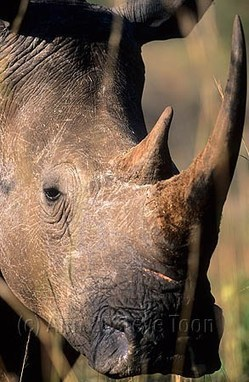 'Poison horn to make consumers infertile' | Rhino | Scoop.it