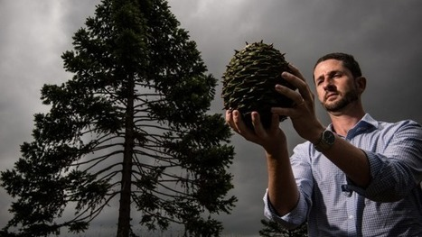 Sydney's Bunya pines drop giant nuts | Australian Plants on the Web | Scoop.it