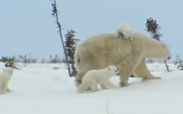 Daily #Cute: Baby #PolarBears Experience the Outdoors for the First Time | Rescue our Ocean's & it's species from Man's Pollution! | Scoop.it