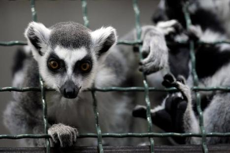 25 primate species reported on brink of extinction   Earth Citizens Perspective   Scoop.it