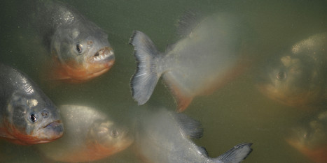 Swarm Of Biting Fish Injure More Than 70 Bathers Near Rosario, Argentina | Amocean OceanScoops | Scoop.it