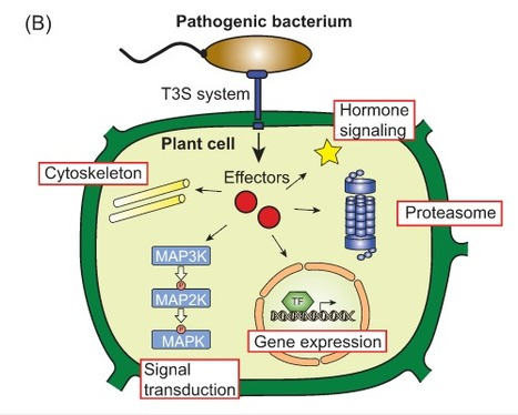 Behind the lines–actions of bacterial type III effector proteins in plant cells | Plant-microbe interaction | Scoop.it