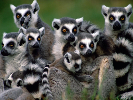 More than 90% of #lemurs face #extinction, #IUCN warns | Messenger for mother Earth | Scoop.it