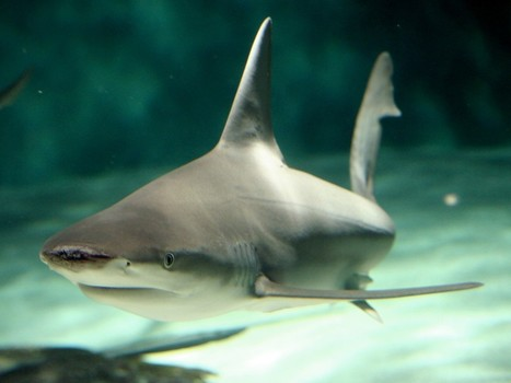 China bans shark fin soup at official dinners | All about water, the oceans, environmental issues | Scoop.it