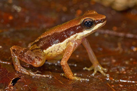 New species of the Amazon rainforest - in pictures | Science and Biotechnology | Scoop.it