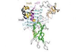 L'interaction de l'insuline et de son récepteur élucidée | Sciences & Technology | Scoop.it
