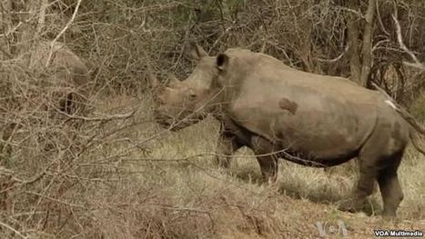 South Africa Game Park Protects Rhinos Against Poaching | What's Happening to Africa's Rhino? | Scoop.it