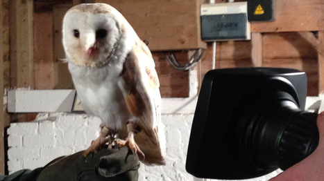 The fate of the beauteous barn owl | Snowblog | Snowblog | British wildlife | Scoop.it