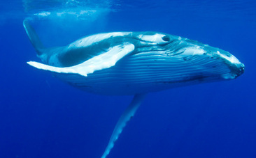 Japan Wants to Start Whaling Again: Here's Why They Can Legally Do It | GarryRogers NatCon News | Scoop.it