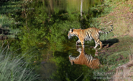 Big Cats: 10 Amazing Shots By Richard Costin - Animal Stories | Helping Wildlife Conservation Through Art | Scoop.it
