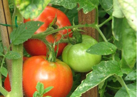 Tomatoes taste good because we slowed down their internal clocks | my universe | Scoop.it