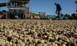 Coffee catastrophe beckons as climate change threatens arabica plant | The Guardian | CGIAR Climate in the News | Scoop.it