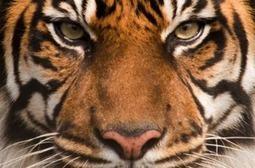 Tiger's whiskers are pulse detectors - Boing Boing | Predator versus Prey Senses | Scoop.it