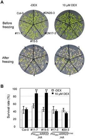 PLOS ONE: Inducible Expression of Arabidopsis Response Regulator 22 (ARR22), a Type-C ARR, in Transgenic Arabidopsis Enhances Drought and Freezing Tolerance   plant developments   Scoop.it