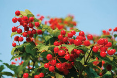Autumn Berries on Shrubs | The Miracle of Fall | Scoop.it