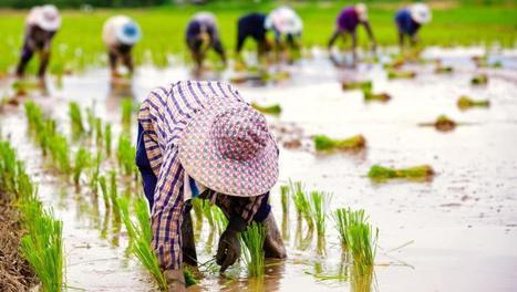 Le gouvernement thaïlandais cesse d'acheter le riz des paysans | Questions de développement ... | Scoop.it