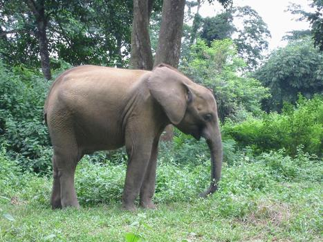 Study of African forest elephants helps guide research efforts in the US | practice | Scoop.it