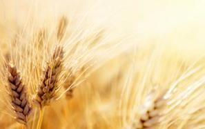 Wheat Crops Grow Despite Climate Alarmists' Lies   IRIS Geopolitics of Grain   Scoop.it