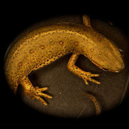 Limb regeneration: do salamanders hold the key? | KurzweilAI | Knowmads, Infocology of the future | Scoop.it