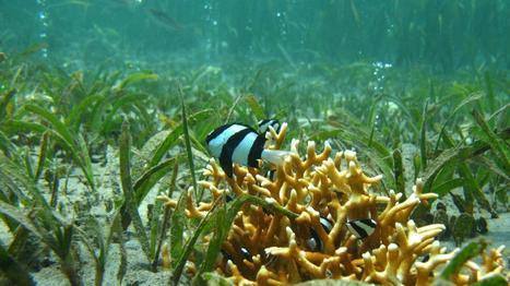 Les poissons menacés de perdre leur instinct de survie face à l'acidification des océans | Le flux d'Infogreen.lu | Scoop.it