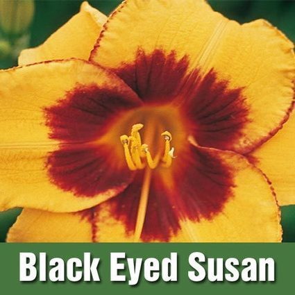 Reblooming Daylily Collection | My Garden- Spring Hill Nursery | Scoop.it