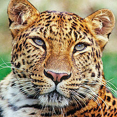 Critically endangered Amur leopards on video | WWF news | WWF UK | This Gives Me Hope | Scoop.it