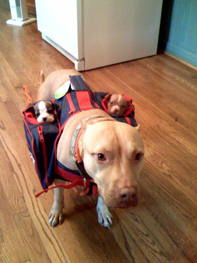 Momma Pitbull Carrying Her Babies | Free HD Desktop Wallpapers Download Online | Funny Pic And Wallpapers | Scoop.it