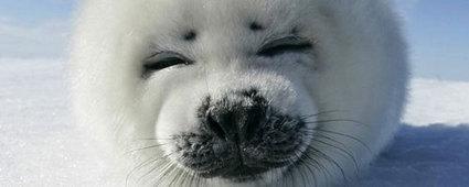 Viaggi in Canada, Alla ricerca dei cuccioli di foca   Viaggi The Wilderness Society   Scoop.it