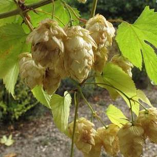 Trouble Brewing: Drought-Hit Hops Crop Concerns Craft Beer Brewers | Craft Beer Industry | Scoop.it