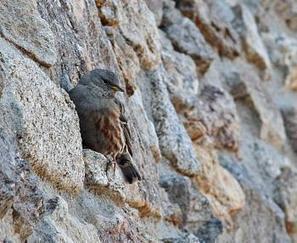 Hautpoul : Une balade ornithologique en l'honneur de l'Accenteur alpin | Les oiseaux au gré du vent